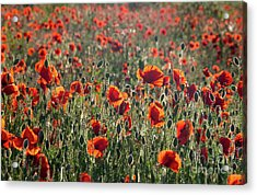 Acrylic Print featuring the photograph Rich Red Poppys by Paul Farnfield