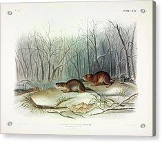 Richardson's Meadow Mouse Acrylic Print