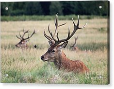 Richmond Park Stags Acrylic Print
