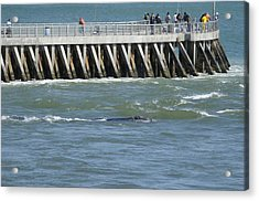 Acrylic Print featuring the photograph Right Whale At Sebastian Inlet by Bradford Martin