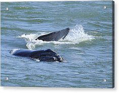 Acrylic Print featuring the photograph Right Whale Head And Tail by Bradford Martin