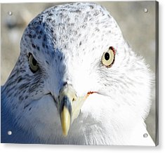 Ring Billed Gull Acrylic Print