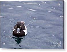 Ring-necked Duck Acrylic Print by Afrodita Ellerman