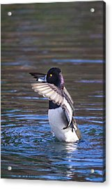 Ring-necked Duck Wings Up Acrylic Print