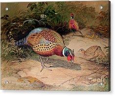 Ring Necked Pheasant Acrylic Print by Joseph Wolf