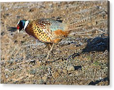 Ring-necked Pheasant Rooster Acrylic Print by Mike Dawson