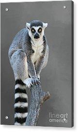 Ring-tailed Lemur #6 V2 Acrylic Print