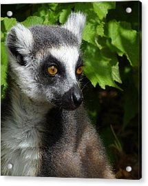 Ring-tailed Lemur In Summer Sun Acrylic Print by Margaret Saheed