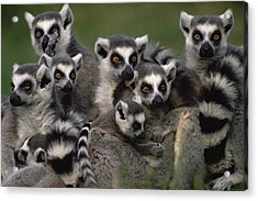 Acrylic Print featuring the photograph Ring-tailed Lemur Lemur Catta Group by Gerry Ellis