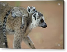 Ring-tailed Lemur Mom And Baby Acrylic Print