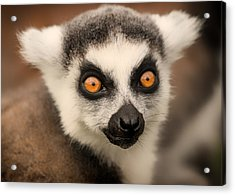 Acrylic Print featuring the photograph Ring Tailed Lemur Portrait by Chris Boulton
