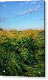 Ripening Barley Acrylic Print