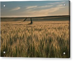 Ripening Wheat No. 1 Acrylic Print by Al White