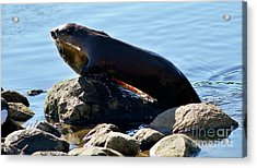 River Otter And Catch Of The Day Acrylic Print by Terry Elniski