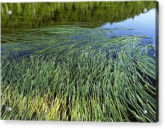 River Reeds Acrylic Print by Tom  Wray