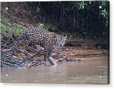 Acrylic Print featuring the photograph Riverbank Jaguar by Wade Aiken
