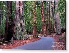 Road Through Redwood Grove Acrylic Print