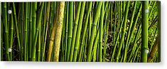 Road To Hana Bamboo Panorama - Maui Hawaii Acrylic Print