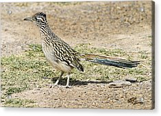 Roadrunner Acrylic Print by Gregory Scott