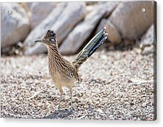 Acrylic Print featuring the photograph Roadrunner Hunting by Dan McManus