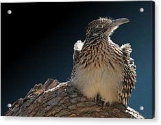 Roadrunner On A Log Acrylic Print