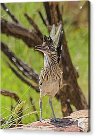Roadrunner - Youngster Acrylic Print by Allen Sheffield