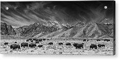 Roaming Bison In Black And White Acrylic Print by Mark Kiver