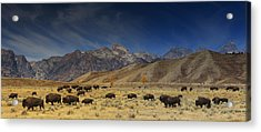 Roaming Bison Acrylic Print by Mark Kiver