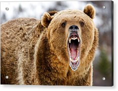 Roaring Grizzly Bear Acrylic Print