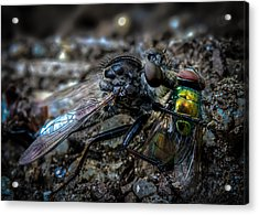Robber Fly Eating Green Bottle Fly Acrylic Print by Bob Orsillo
