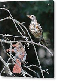 Robin And Cardinal 2664 Acrylic Print