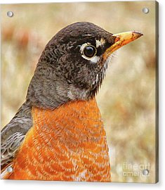 Acrylic Print featuring the photograph Robin by Debbie Stahre