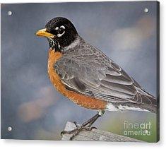 Acrylic Print featuring the photograph Robin by Douglas Stucky