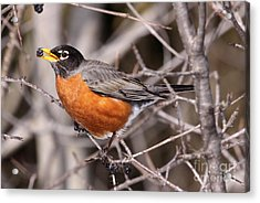 Robin Eating Acrylic Print by Chris Hill