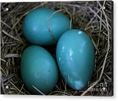 Acrylic Print featuring the photograph Robin Eggs by Erica Hanel