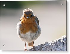 Robin Front Acrylic Print