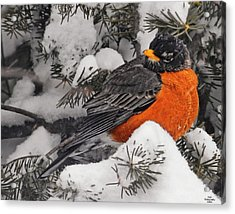 Robin In March Snowstorm In Michigan Acrylic Print