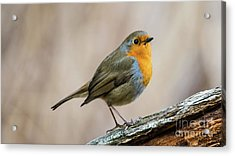 Robin In Spring Acrylic Print by Torbjorn Swenelius