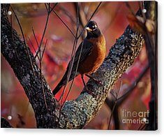Acrylic Print featuring the photograph Robin In The Dogwood by Douglas Stucky