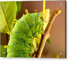 Acrylic Print featuring the photograph Robin Moth Caterpillar by Claire Bull