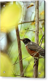 Robin Perched Acrylic Print