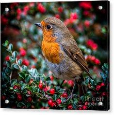 Robin Redbreast Acrylic Print by Adrian Evans