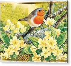 Robin Spring Acrylic Print by John Francis