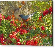 Robins Berry Feast Acrylic Print by K L Kingston