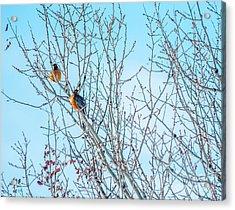 Robins In A Tree Spring Scene Acrylic Print by Cheryl Baxter