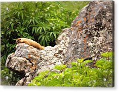 Rock Chuck Acrylic Print by Lana Trussell