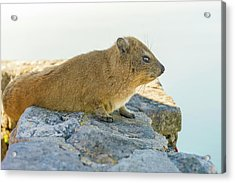 Rock Hyrax On Table Mountain Cape Town South Africa Acrylic Print