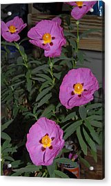 Rock Rose Orchid Acrylic Print by Bill Hyde