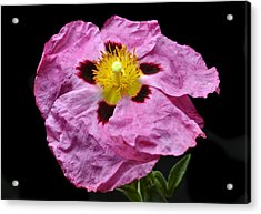 Rock Rose Acrylic Print by Terence Davis