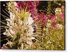 Rocky Mountain Bee Plant Acrylic Print by Beth Collins